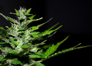 Best 9 Marijuana Strains of the Year 2020